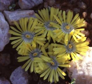 Lithops in flower