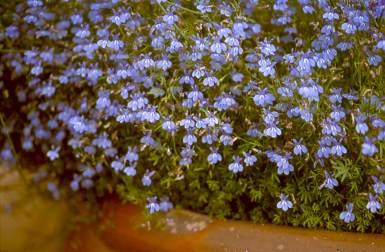 Lobelia Aquaemontis Plantzafrica
