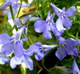 Lobelia Plantzafrica