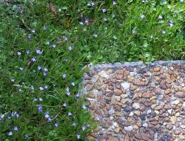 Lobelia anceps growing around stepping stone