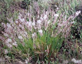 Staggers grass