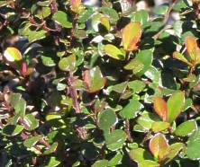 Glossy attractive leaves
