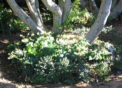 Small hedge in waterwise garden at Kirstenbosch