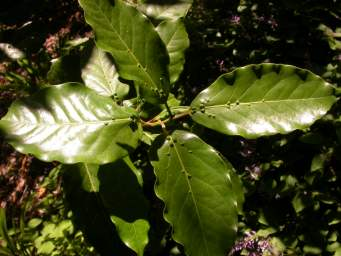 Leaves of Ocotea bullata