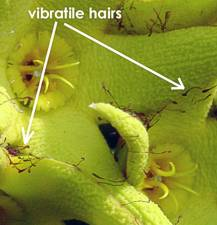 Vibratile hairs on O. lutea subsp. lutea