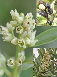 Ozoroa paniculosa flowers and fruit
