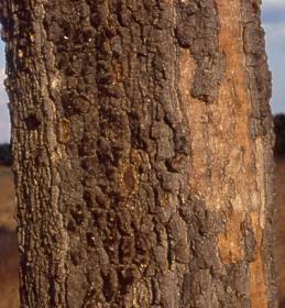Parinari curatellifolia bark