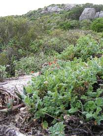Pelargonium fulgidum growing in habitat Cedarberg