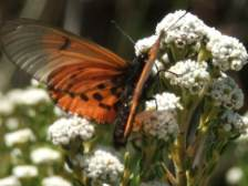 Acraea horta butterfly visiting the flowers