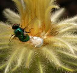 Metallic flya and crab spider visiting the flower