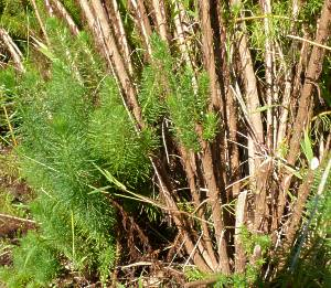 Image of P. acerosum stems