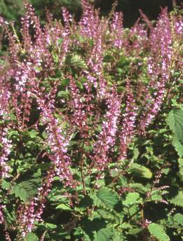 Plectranthus fruticosus'James""