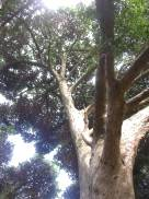 Crown of tree in Kirstenbosch