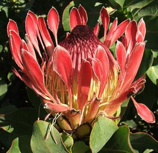 Protea eximia flower head
