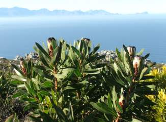 Protea Lepidocarpodendron on St James Peak