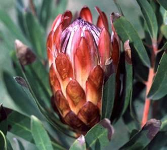 Protea Susannae Plantzafrica