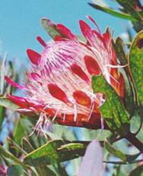 Protea susannae flower head