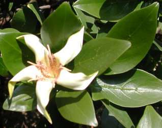 Flower and glossy leaves
