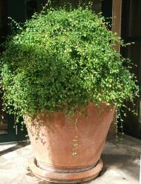 Sclerochiton harveyanus pot plant