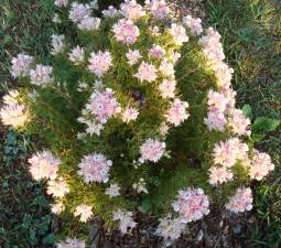 Serruria rosea shrub viewed from above