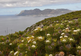 Serruria villosa growing above Kalk Bay
