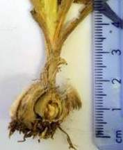 Corm showing fibrous tunics removed