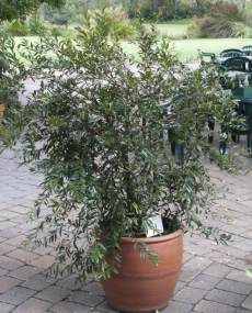 Syzygium pondoense in a pot
