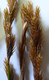 Female spikelets