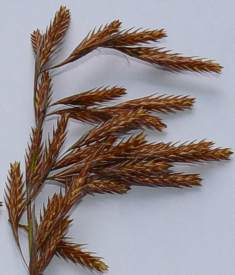 Male spikelets
