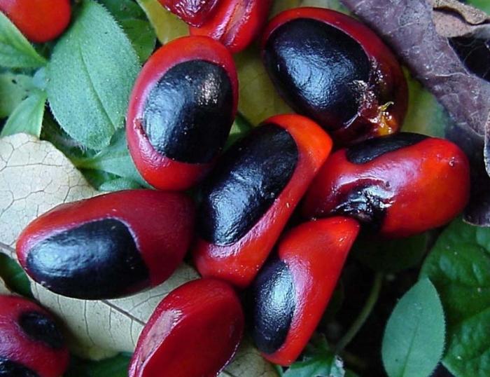 Trichilia dregeana | PlantZAfrica