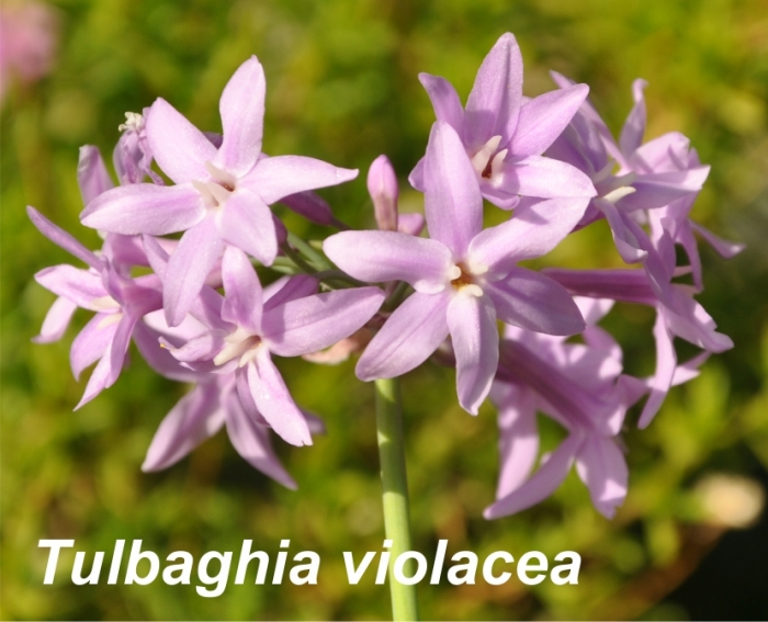 Tulbaghia violacea flowers