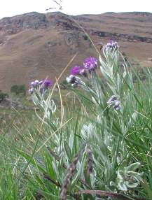 Growing in the Drakensberg