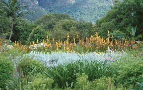 Bed of Wachendorfia thyrsiflora at Kirstenbosch