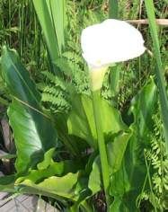 Leaves of arum lily