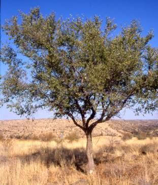 Ziziphus mucronata   PlantZAfrica