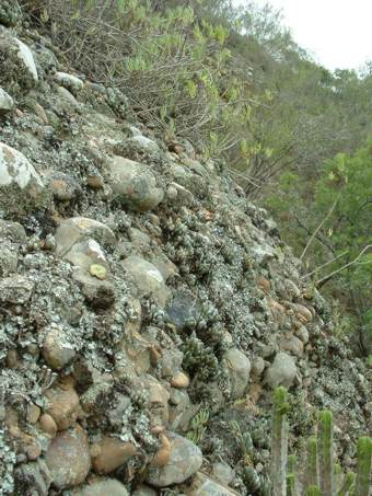 Var. addoensis growing on conglomerate cliff.