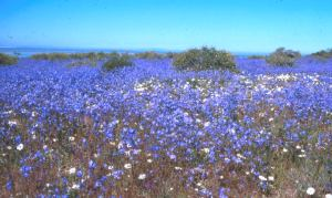 Fields of Heliophila on the west coast