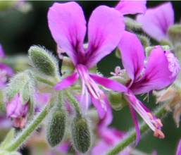 Pelargonium hispidum flowers and fruit