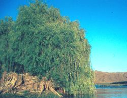 alix mucronata on the banks of the  Orange River