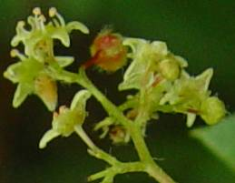Searsia dentata Flowers
