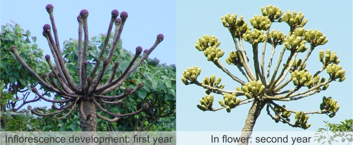 Development of the inflorescence of Cussonia sphaerocephala. (Geoff Nichols)