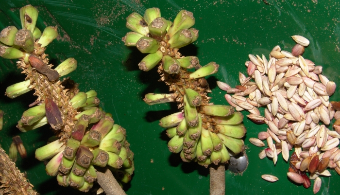 Cussonia sphaerocephala, fruits and seeds. (Geoff Nichols)