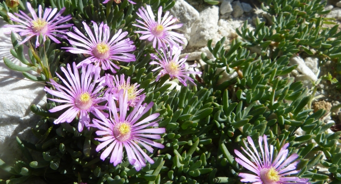 A flowering branch of  Lampranthus tegens in cultivation at Babylonstoren Farm.