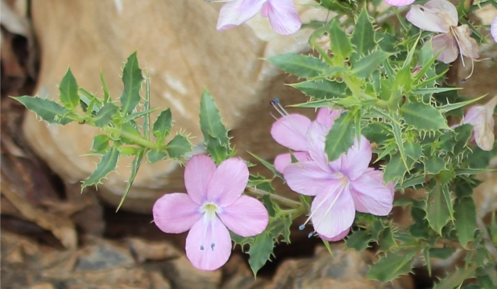 Barleria rigida var. rigida, flowers and foliage.