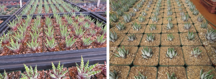 Large scale cultivation of broad-banded forms of Haworthiopsis attenuata var. attenuata for the horticultural market. (S.D. Gildenhuys)