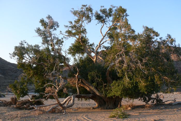 The largest known specimen of Ficus cordata, on the banks of the Orange River, at the farm Hom, near Abbassas.