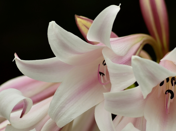 Crinum lineare flowers showing recurved tip. (Adriaan Grobler)