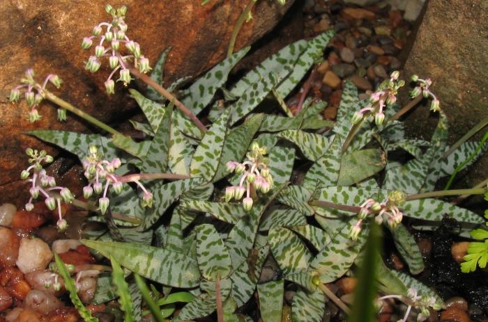 Ledebouria Socialis Plantzafrica