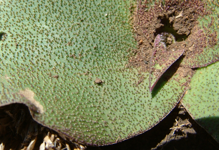 Ledebouria ovatifolia subsp. scabrida, upper surface of a leaf. (Neil Crouch)