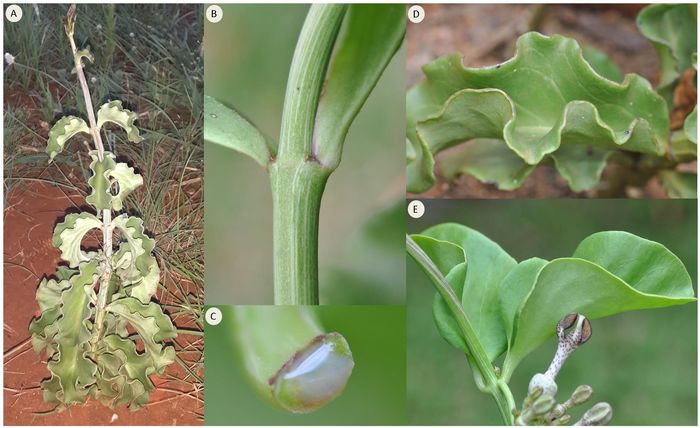 in habitat, just re-sprouting after it died back the previous winter – note the wavy leaf margins, the climbing/twining growth-tip and leaves reduced towards the tip of the stem. B: opposite leaves with very short petiole. C: clear sap. D: thick, leathery and succulent leaves. E: large leaves with entire margin.